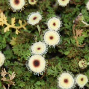 Leptinella - Fiederpolster