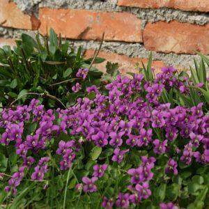 Viola - Veilchen