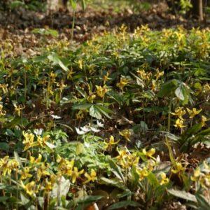 Erythronium - Forellenlilie, Hundszahn