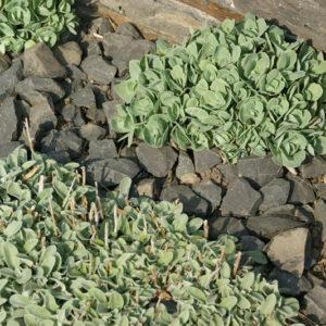 Sedum (Hylotelephium) - Fetthenne