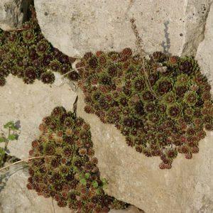 Sempervivum (reine Arten) - Dachwurz