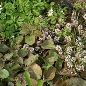 Pachysandra - Dickanthere