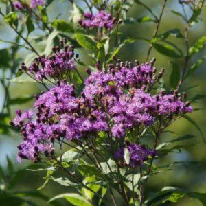 Vernonia - Eisenkraut