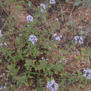 Ziziphora - Lamiaceae