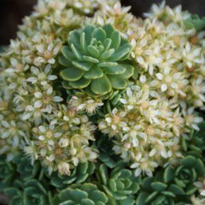 Rhodiola - Crassuluaceae