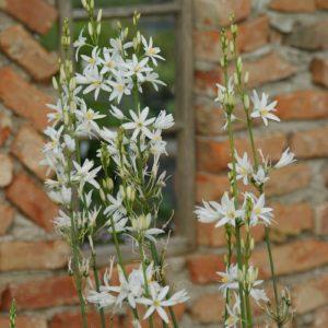 Anthericum - Graslilie