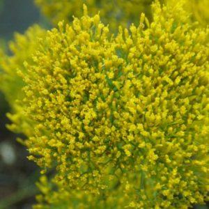 Bigelovia - Asteraceae