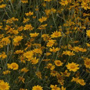 Eriophyllum - Wüstengoldaster