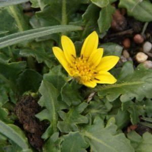 Haplocarpha - Asteraceae