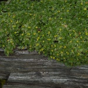 Azorella - Andenpolster