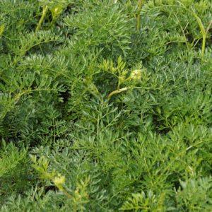 Cnidium - Apiaceae