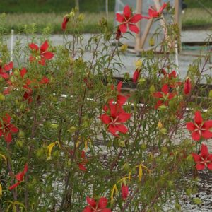 Hibiscus - Hibiskus, Eibisch