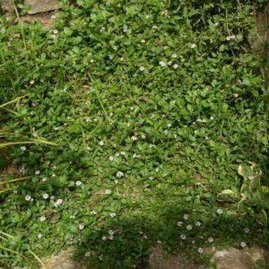 Phyla - Verbenaceae