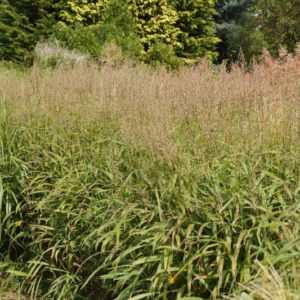 Spodiopogon - Zotten-Raugras
