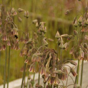 Nectaroscordum - Bulgarischer Lauch