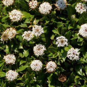 Nablonium - Asteraceae