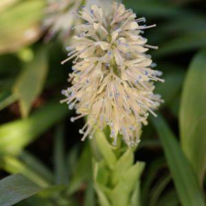 Heloniopsis - (Melanthiaceae)