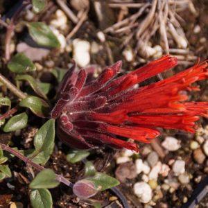 Monardella - (Lamiaceae)
