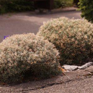 Ptilotrichium - Steinsame