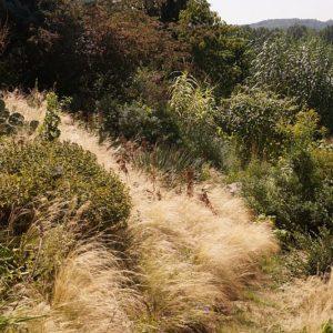 Nasella - Amerikanisches Federgras