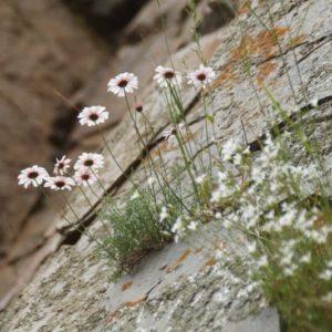 Richteria - Asteraceae