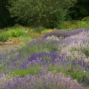 Lavandula - Lavendel
