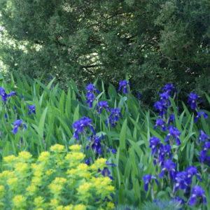 Iris - Schwertlilie