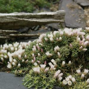Helichrysum - Strohblume