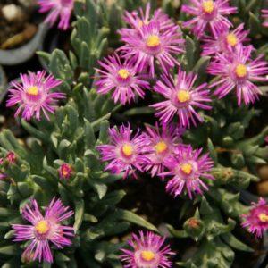 Ruschia - Aizoaceae