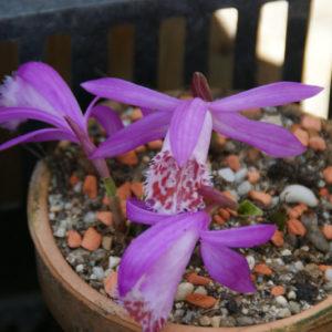 Pleione - Tibetorchidee