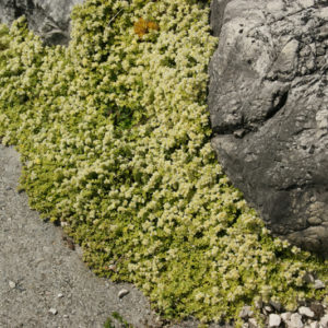 Paronychia - Mauermiere