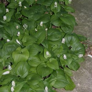 Majanthemum - Schattenblume