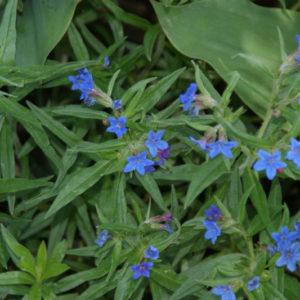 Buglossoides - Steinsame