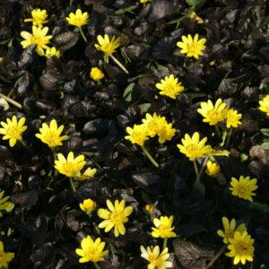 Ranunculus - Zwerg-Ranunkel