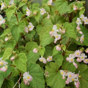Begonia - Winterharte Begonie