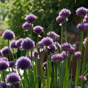 Allium - Lauch
