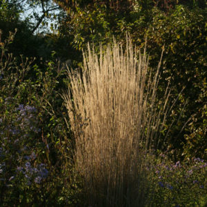 Calamagrostis - Reitgras