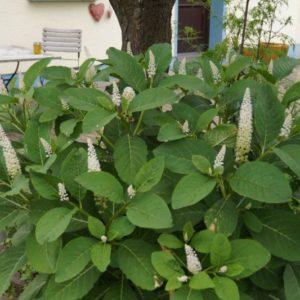 Phytolacca - Kermesbeere