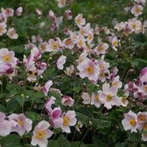 Anemone 2 - Hohe Herbstanemone