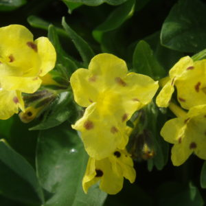 Arnebia - Prophetenblume