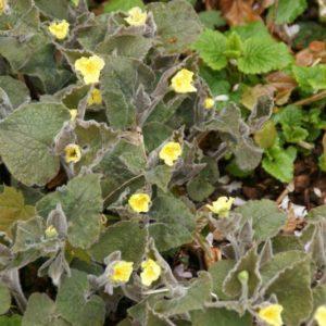 Saruma - Aristolochiaceae