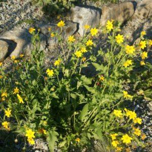 Engelmannia - Asteraceae