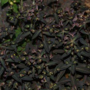 Euphorbia - Wolfsmilch