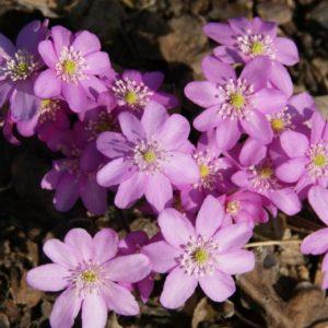 Hepatica - Leberblümchen
