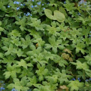 Hydrophyllum - Hydrophyllaceae