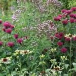 Monarda 'Ruby Glow', Verbena hastata, sowie Echinacea 'Green Envy'