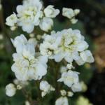 Saxifraga granulata 'Pleniflora'