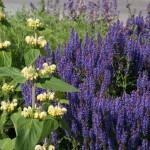 Salvia nemorosa 'Blauhügel'