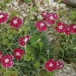 Dianthus gratianopolitanus 'Waithman's Beauty'