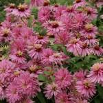 gefüllt blühende Echinacea - Bild 2